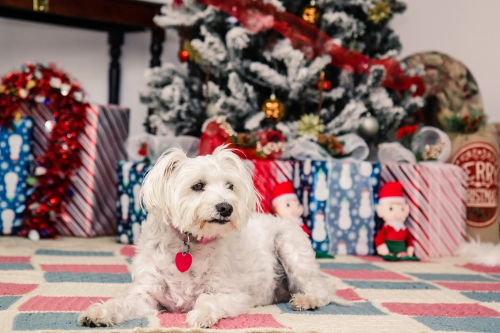 My Dog's Solo Christmas Photoshoot